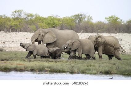 Herd of elephants at a waterhole in Etosha