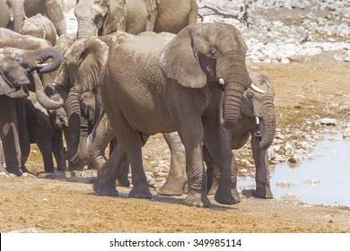 Herd of elephants at a waterhole in Etosha National Park, Namibia