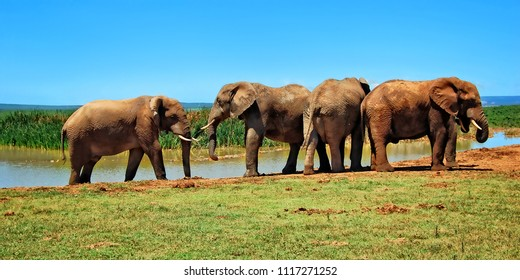 Herd of elephants at a watering hole. Amazing African wildlife. Elephant family in African lagoon. Travel to Africa. African safari. Wild animals in National Parks