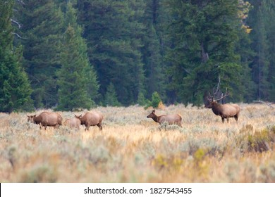 A herd of elk with a bull elk in a field in Grand Teton National Park (Wyoming).