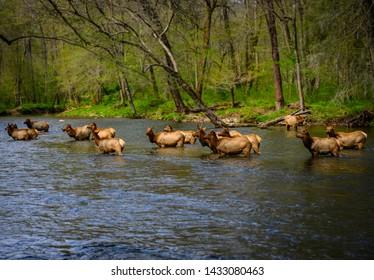 Herd of Elk Cool Off in Oconaluftee River in North Carolina mountains