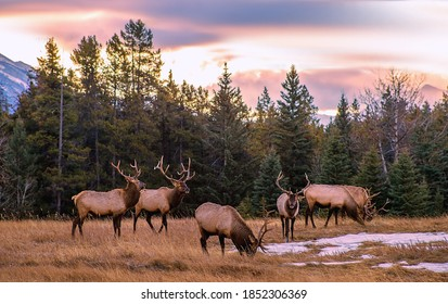 A herd of elk grazing in the mountains at sunrise