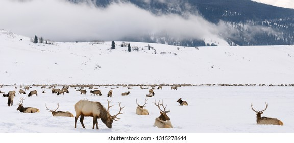 Herd of Elk wintering at the National Elk Refuge in Wyoming with Millers Butte and low cloud at Table mountain