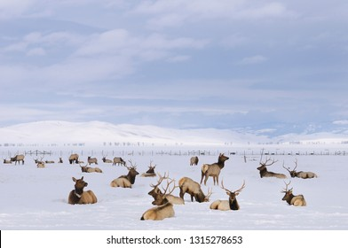 Herd of Elk wintering at the National Elk Refuge in Jackson Hole Wyoming