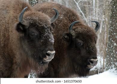Herd of European bison (Bison bonasus) mourn their dead cub in winter forest of Belarus