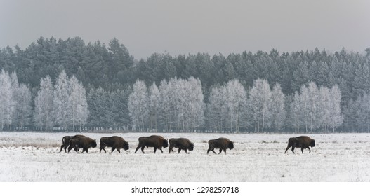 Herd of European Bisons in National Park Bialowieza in the winter on a open snowy field with birches in the background, Poland.