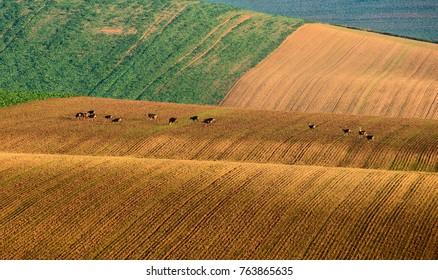 Herd of European roe deer (Capreolus capreolus) grazing on agicultural fields - South Moravia, Czech Republic