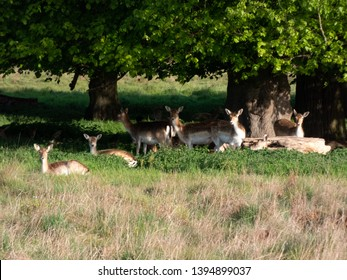 Herd of Fallow Deer (Dama dama) resting under the shade of trees, Hampton Court Park