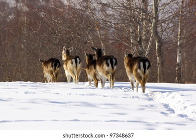 Herd of fallow deer does (dama dama) walking through the big snow towards the woods in a sunny winter day.