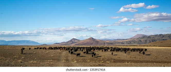 herd of farm animals in a landscape of western Mongolia