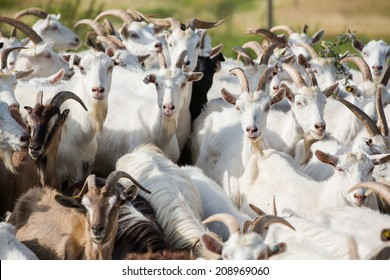 Herd of farm goats  on a pasture