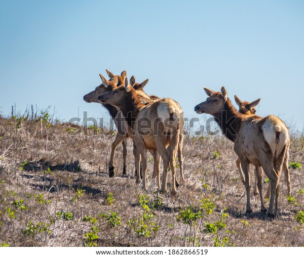 A herd of female Tule Elk cows (Cervus canadensis nannodes)  graze the grassy hillsides of Point Reyes National Seashore preserve, near Drake's Beach, in Marin County, California.