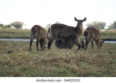 Herd of female waterbuck, including a nursing calf