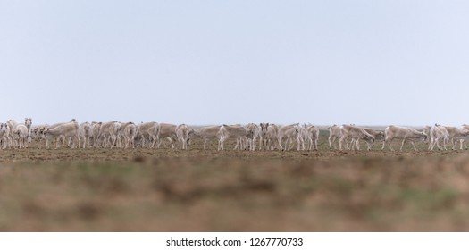 Herd of females during the rut period. Saiga tatarica is listed in the Red Book, Chyornye Zemli (Black Lands) Nature Reserve, Kalmykia region, Russia.