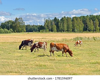 Herd of Finnish Ayrshire cows graze on pasture at edge of forest. Aland Islands