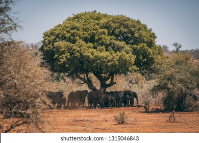 Herd fo African elephants under a marula tree in Kruger Nationalpark, South Africa