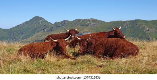 Herd of french Salers cows with mountains in background. Cantal, Auvergne, France, Europe