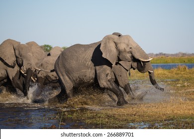 A herd of frightened elephants running through shallow water in the Linyanti swamps