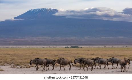 herd in front off Kilimandjaro