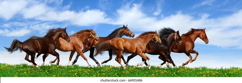 herd gallops in green field
