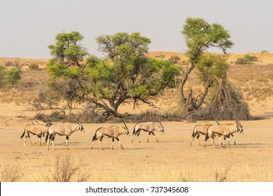 A herd of gemsbok in the dry Auob river bed in the Kgalagadi Transfrontier Park, situated in the Kalahari Desert, which straddles South Africa and Botswana.