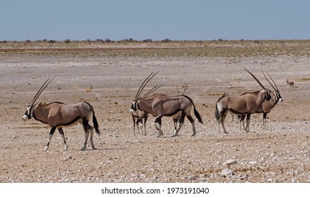 Herd of Gemsbok in Etosha National Park, Namibia