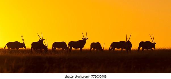 A herd of Gemsbok (Oryx gazella) at sunset in Damaraland in Namibia