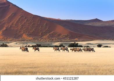 Herd of Gemsbok in Sossusvlei, Namibia