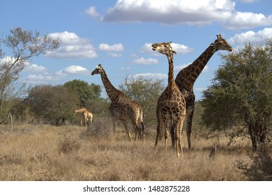 Herd of giraffe in the Kruger National Park, South Africa