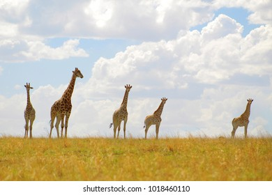 A herd of giraffe perfectly skylined against the cloudy sky of the Free State