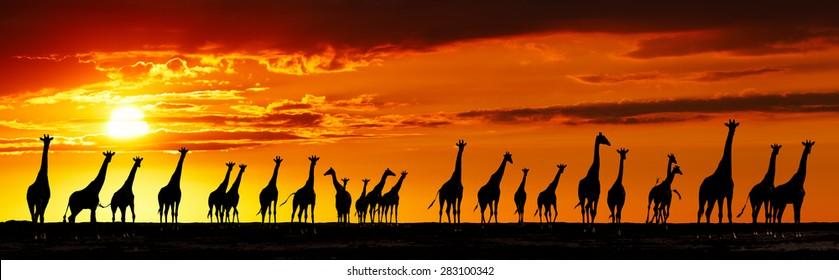 Herd of giraffes in african savanna at sunset