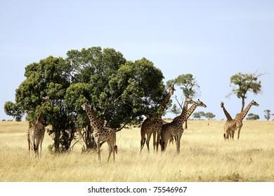 A herd of giraffes (Giraffa camelopardalis) on the Maasai Mara National Reserve safari in southwestern Kenya.