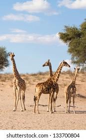 A herd of giraffes in the Kalahari