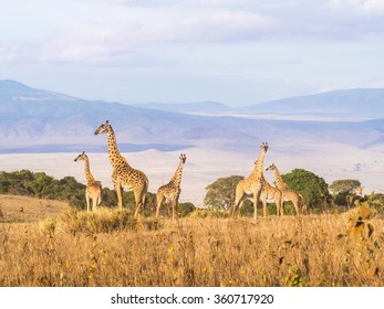 Herd of giraffes on the rim of the Ngorongoro Crater in Tanzania, Africa, at sunset.