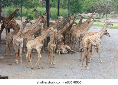 The herd of giraffes is standing, avoiding the heat of sunlight. Under the roof in the zoo