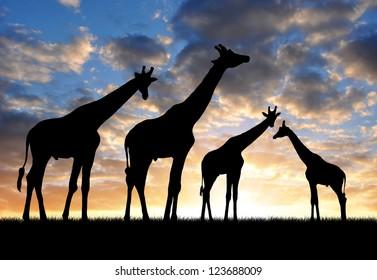 herd of giraffes in the sunset