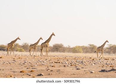 Herd of Giraffes walking in the bush on the desert pan, daylight. Wildlife Safari in the Etosha National Park, the main travel destination in Namibia, Africa.