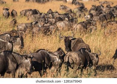 a herd of Gnu in Serengeti
