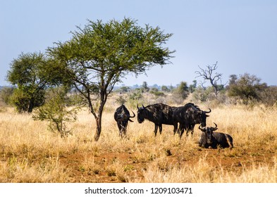 herd of gnu under the tree in the grass. Kruger park, savannah, South Africa safari animal