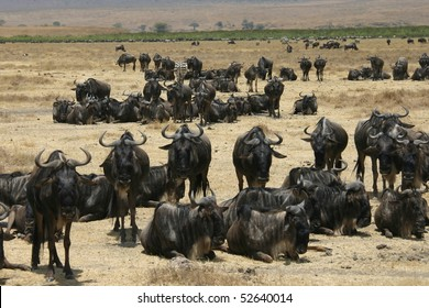 herd of gnus