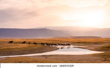 Herd of gnus and wildebeests in the Ngorongoro crater National Park, Wildlife safari in Tanzania, Africa.