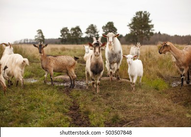 Herd of goats in a field with goatling. Forest background.