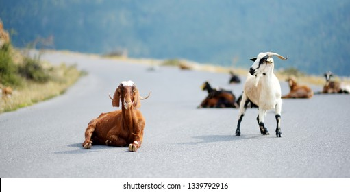 Herd of goats grazing by the road in rocky area of Peloponnese. Domestic goats of Greece, highly prized for their meat and milk production production.
