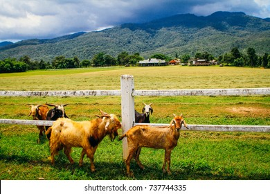 Herd of goats grazing on beautiful green pasture with white farm fence, trees, barn, mountains, sky and clouds in the background. Countryside of Chiang Mai, Thailand.