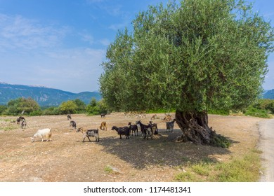 A herd of goats are grazing and resting under an olive tree in the countryside in Kefalonia Greece