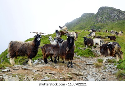 A herd of goats grazing under the mount of Soum de Matte in the Pyrenees mountain. France.