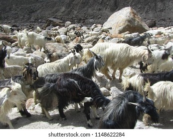 Herd of goats, Northern India. - Shutterstock ID 1148622284