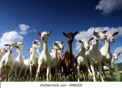 a herd of goats, seen from below, against a blue sky