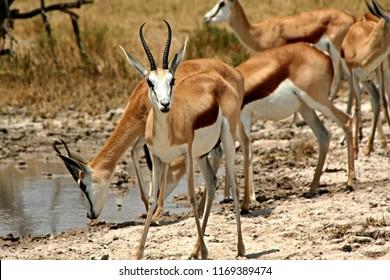 Herd of Grant's Gazelle / Nanger Granti /. Nxai Pan National Park. Botswana. Africa.