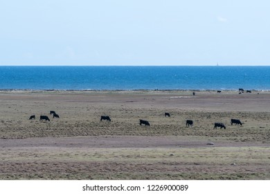 Herd of grazing cattle in a coastal wide open grassland on the swedish island Oland in the Baltic Sea